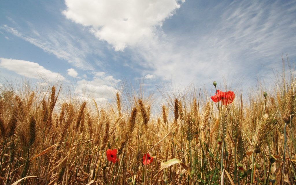 field of golden wheat with red poppies and a pale blue sky with wispy white clouds